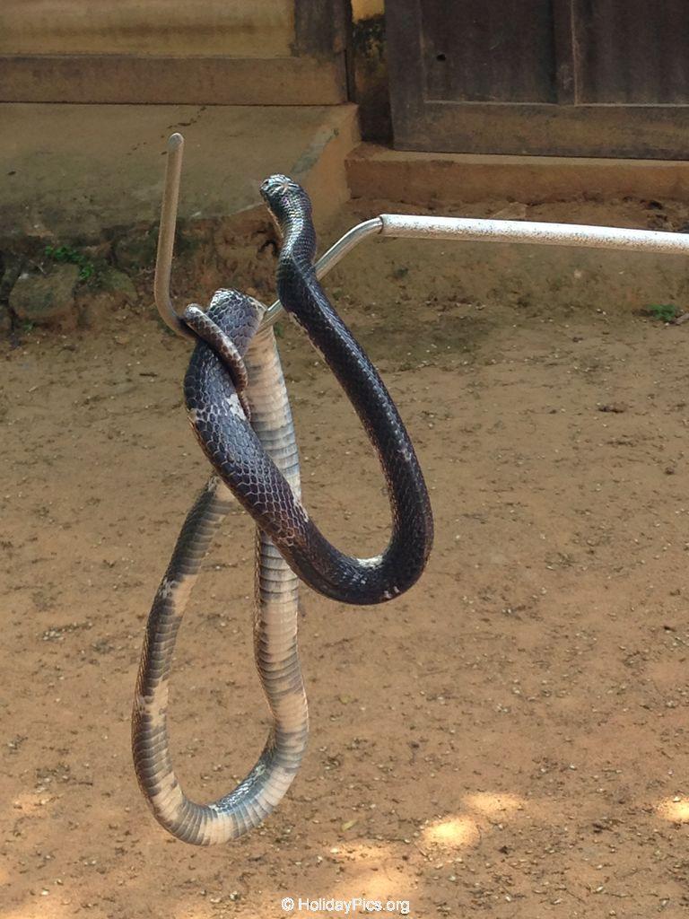 Snake_Farm-Weligama-032