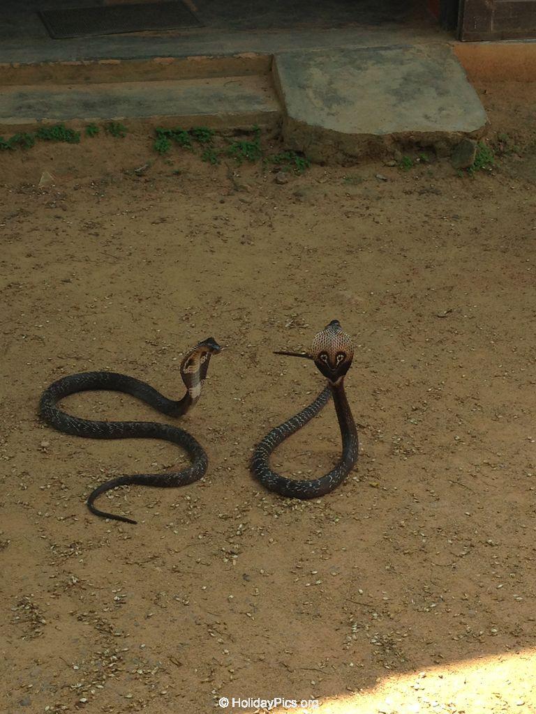 Snake_Farm-Weligama-048