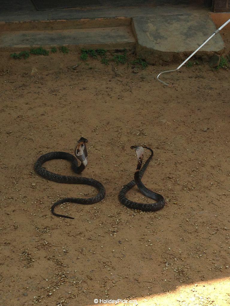 Snake_Farm-Weligama-049