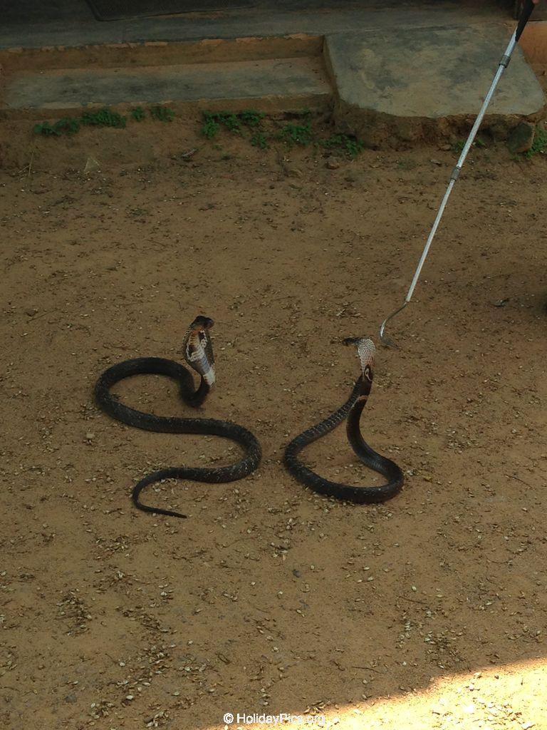 Snake_Farm-Weligama-050