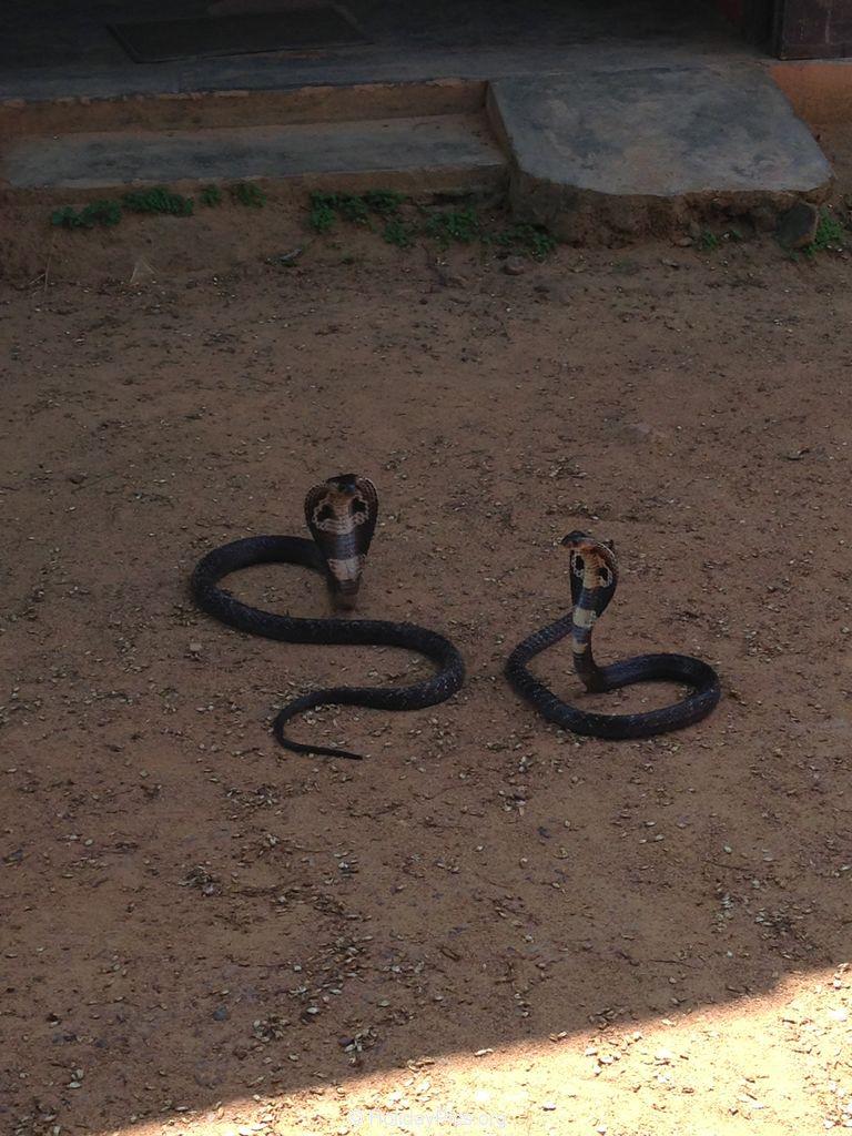 Snake_Farm-Weligama-051