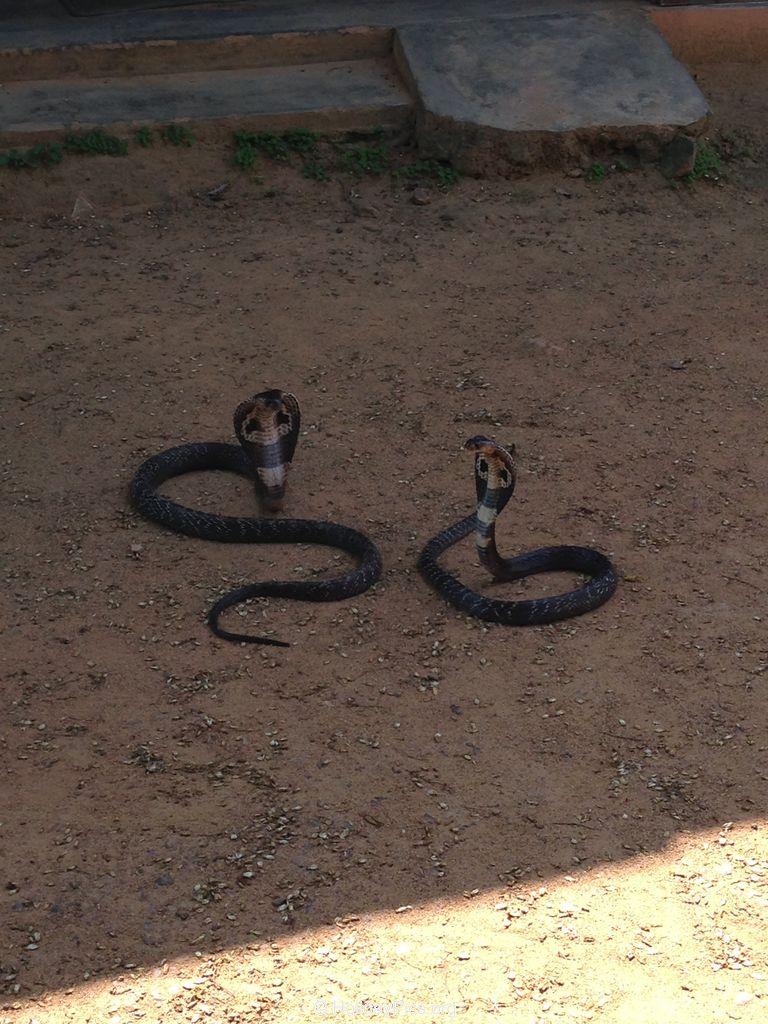 Snake_Farm-Weligama-052